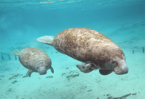 Manatee with her baby